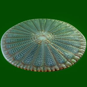 protist - Centric Marine Diatom (Arachnoidiscus)