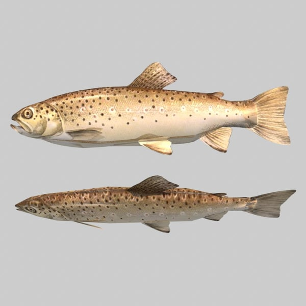 Fish Brown Trout