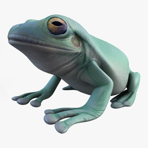 Litoria Caerulea (Green Tree Frog)