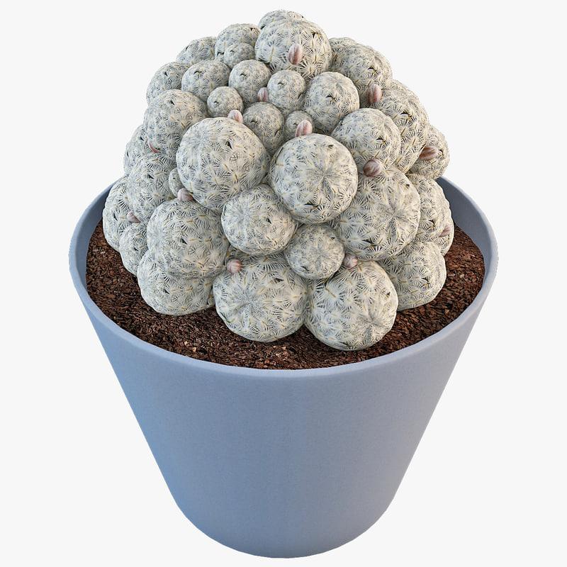 cactus mammillaria microcarpa plant 3d model