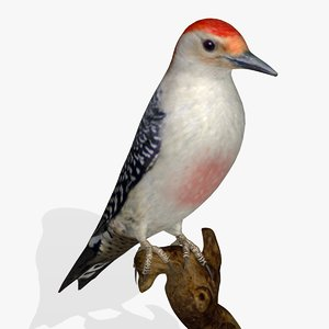 3d red bellied woodpecker birds model