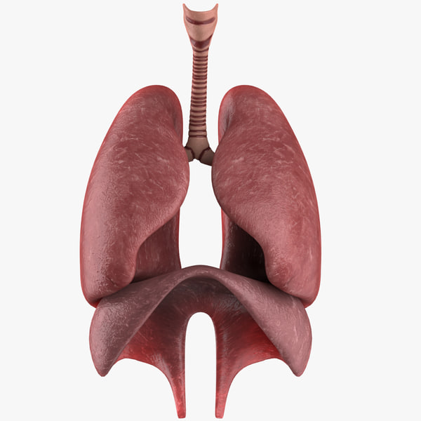 3d respiratory lungs diaphragm model
