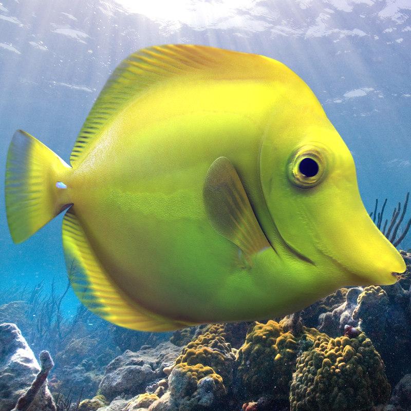 3ds max yellow tang tropical fish