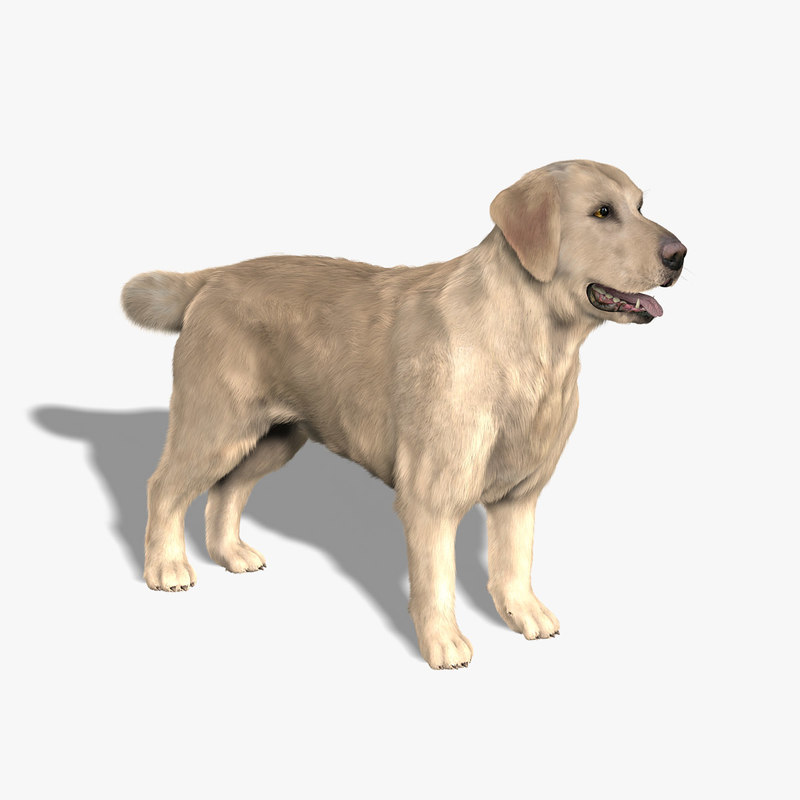 labrador retriever dog fur 3d model
