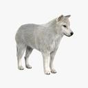 arctic wolf 3D models