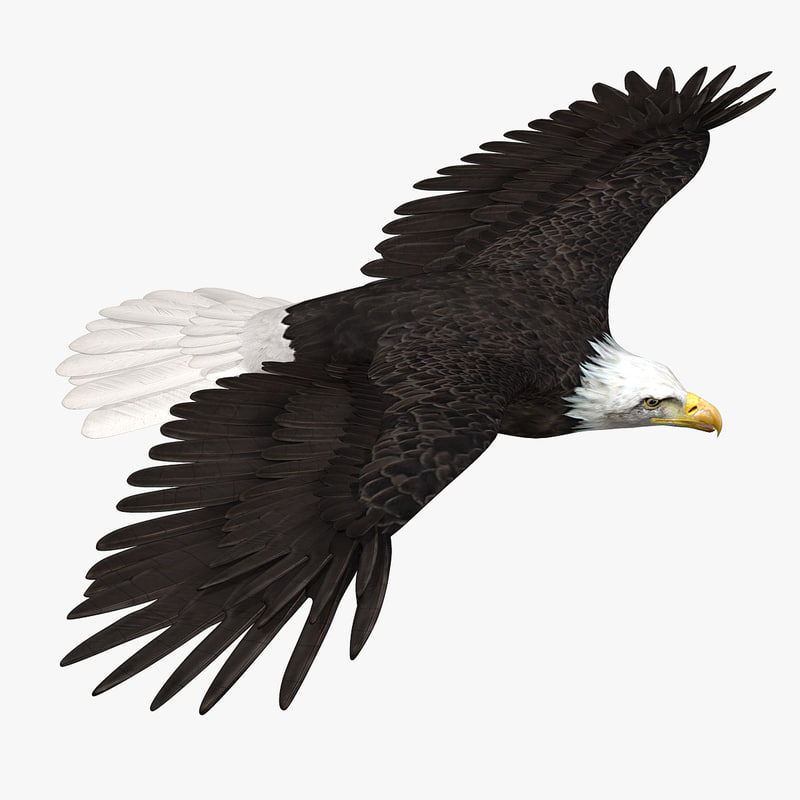 3d model of american bald eagle