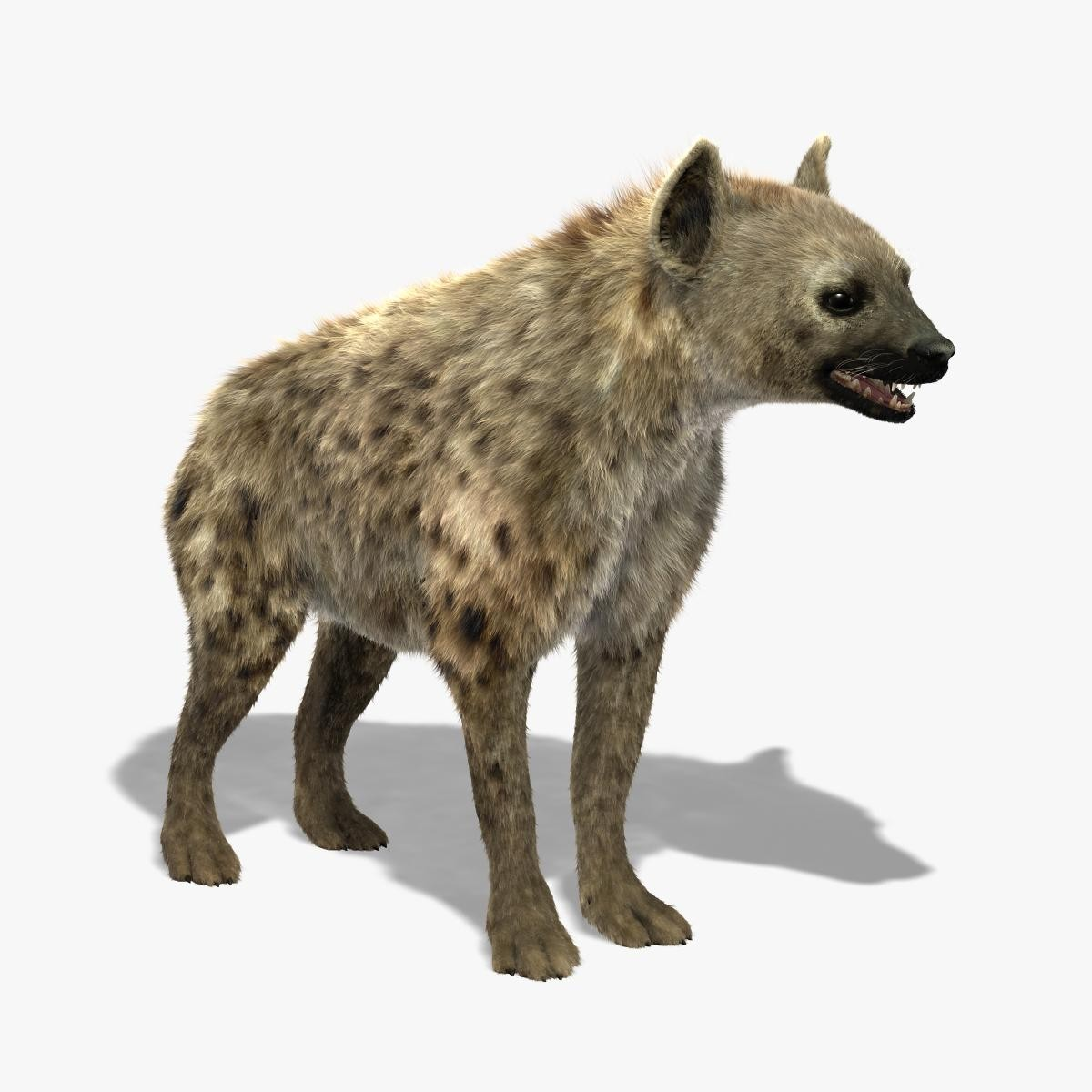 3d model of hyena shave modeled