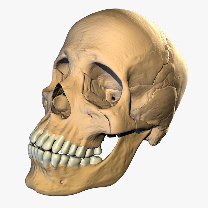 obj skull modeled highest