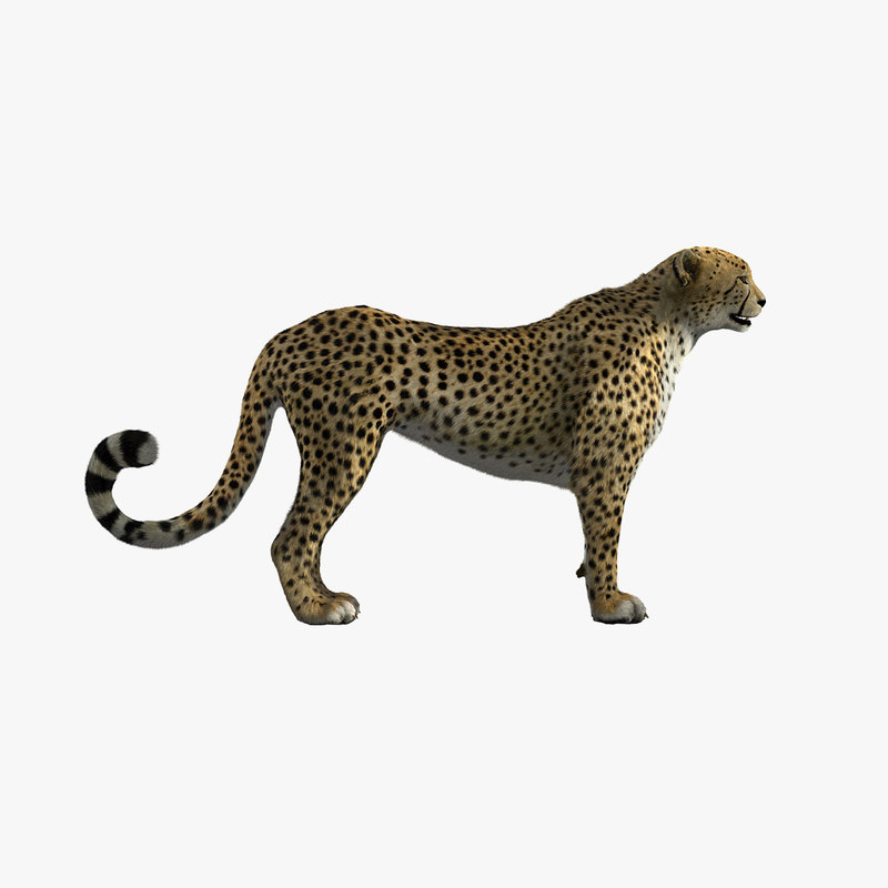 cheetah shave haircut 3d ma