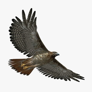 hawk animation 3d model