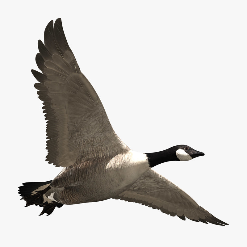 goose feathers animation 3d model