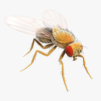 drosophila melanogaster fruit fly obj