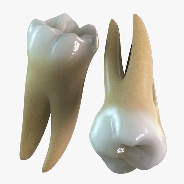 3d teeth molars model