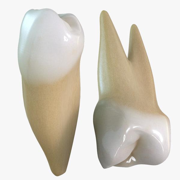 3d teeth premolars model