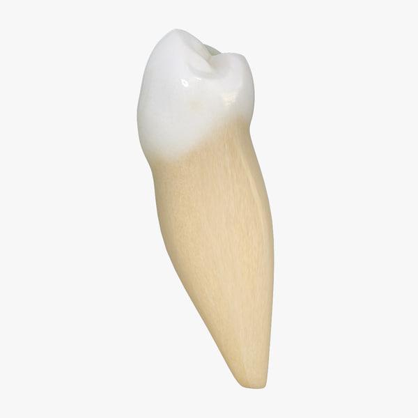 3d model tooth lower premolar