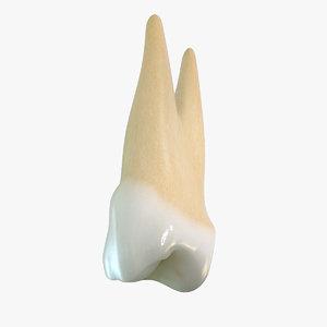 tooth premolar 3d model