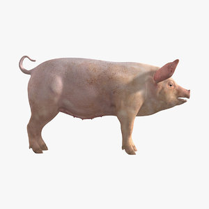 3d model domestic pig