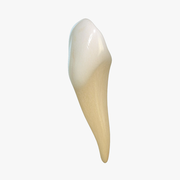 3d tooth lower canine model