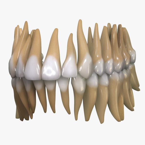 teeth permanent dentition max