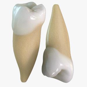 teeth premolars 3d model