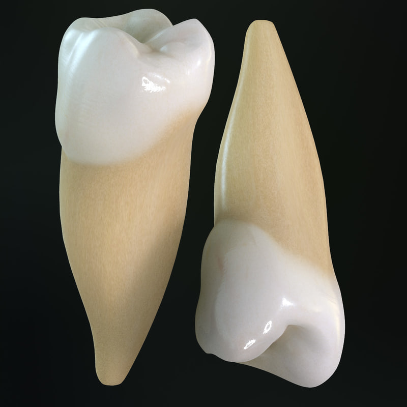 teeth premolars 3d model