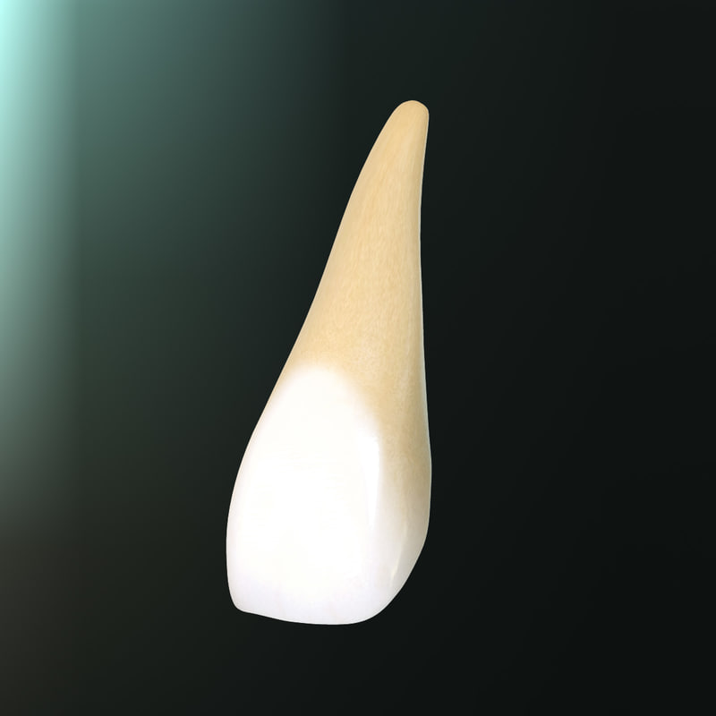 3d tooth upper central incisor model