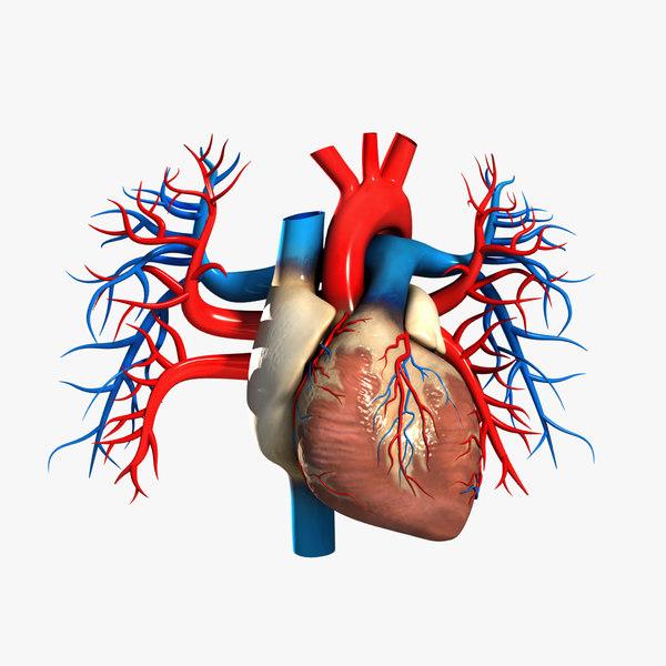 3dsmax medically human heart