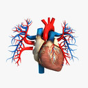 Cardiovascular System 3D models