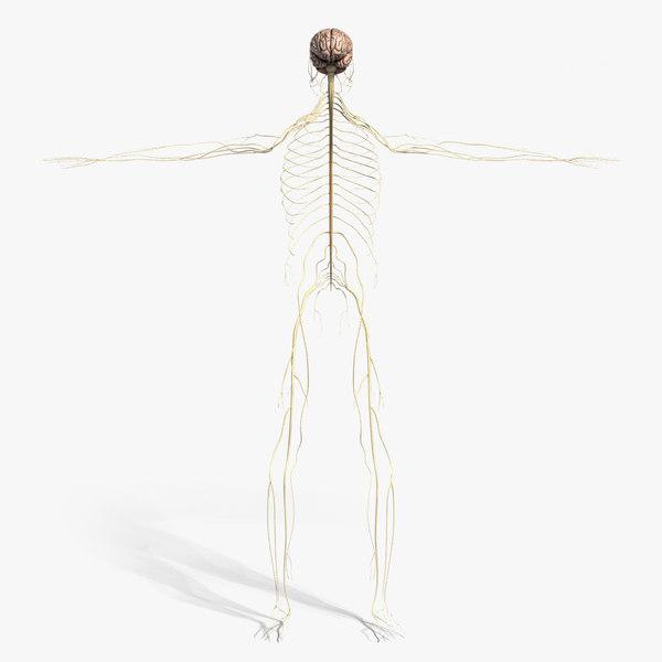 3d model medically nervous brain cerebellum