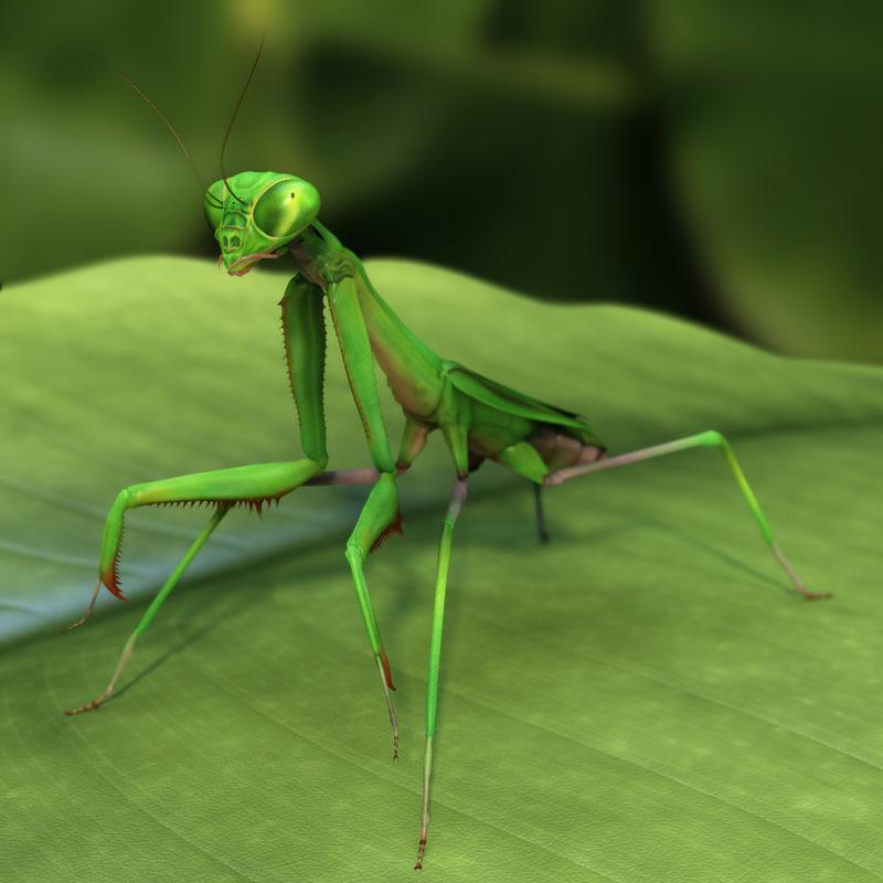 3d california praying mantis - model