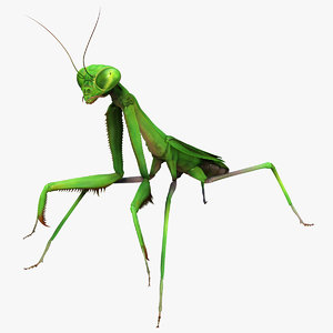 3d california praying mantis - model