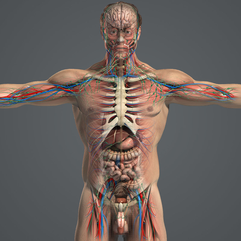 complete male anatomy 3d model
