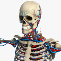circulatory skeletal systems anatomy heart 3d model