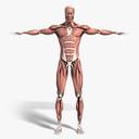 muscular system 3D models