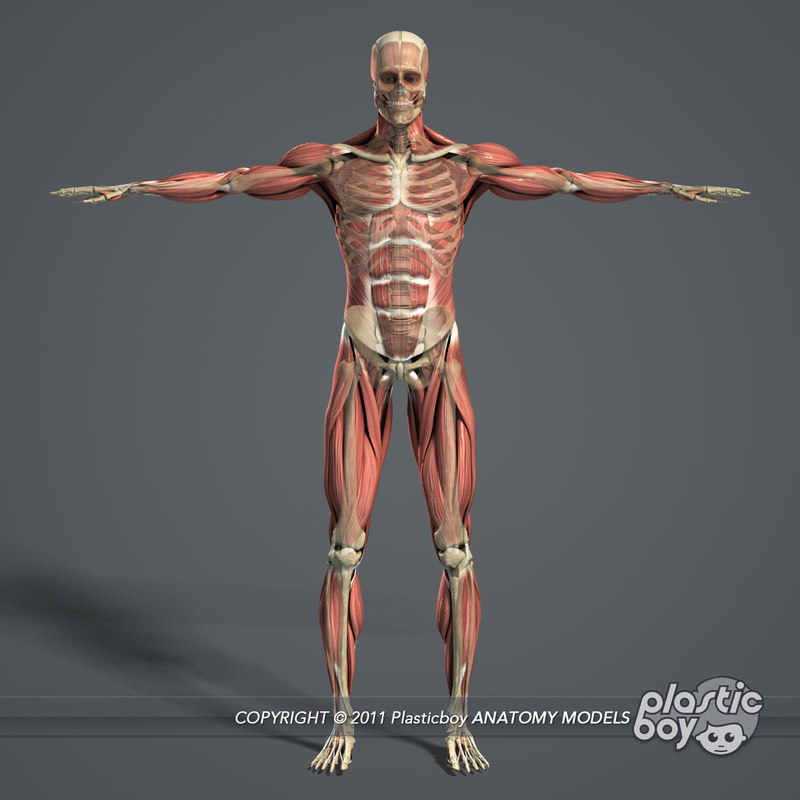 Male Muscular Skeletal Systems 3d C4d