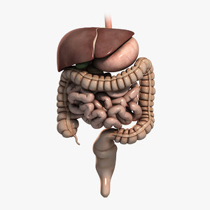 3d medically human digestive stomach