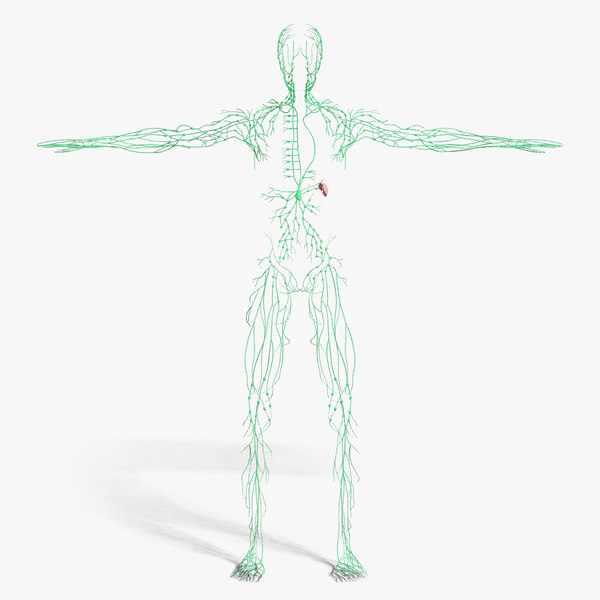 3d model medically lymphatic lymph