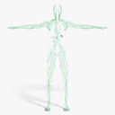 Lymphatic System 3D models