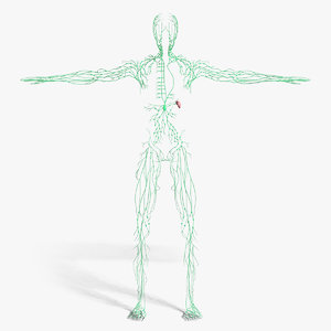 3d model medically lymphatic lymph
