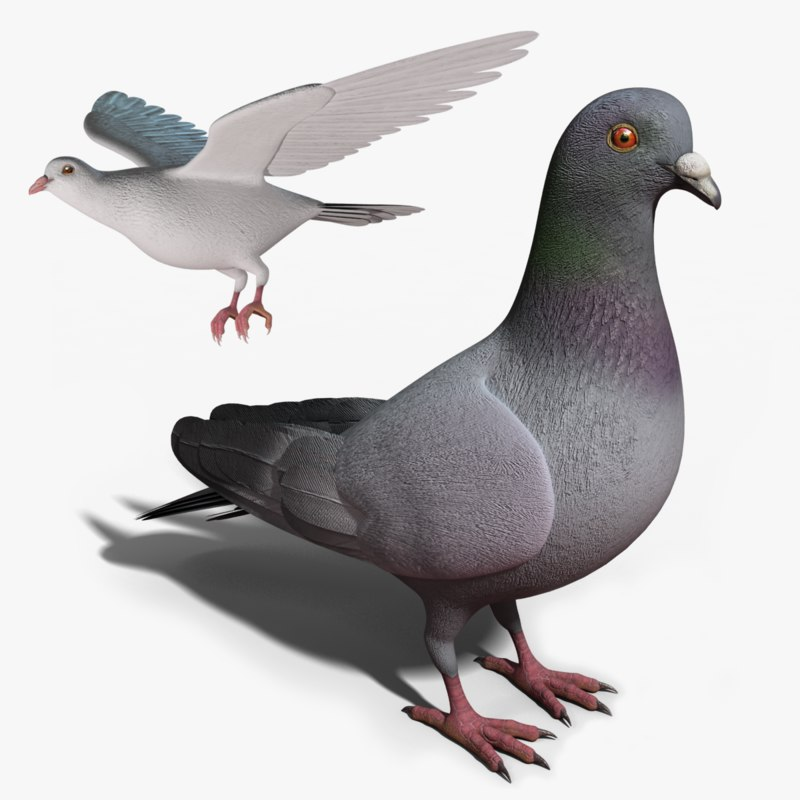 pigeon - rigged dove animation 3d model