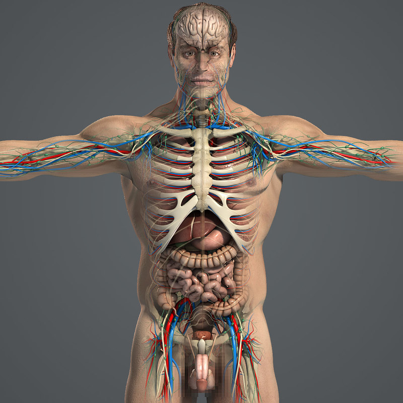 3d model of essential male anatomy circulatory