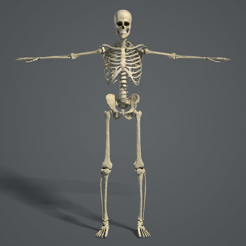 human skeletal, Skeleton