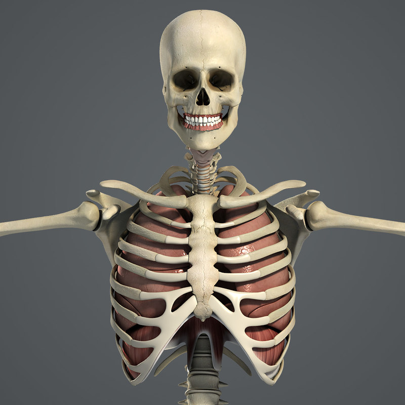3ds Male Respiratory Skeletal Anatomy