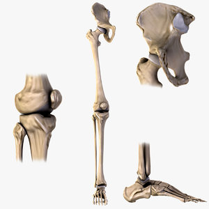 3d model human hip knee foot