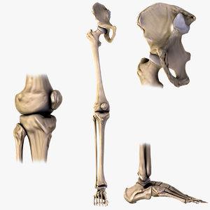 3d model human hip knee foot