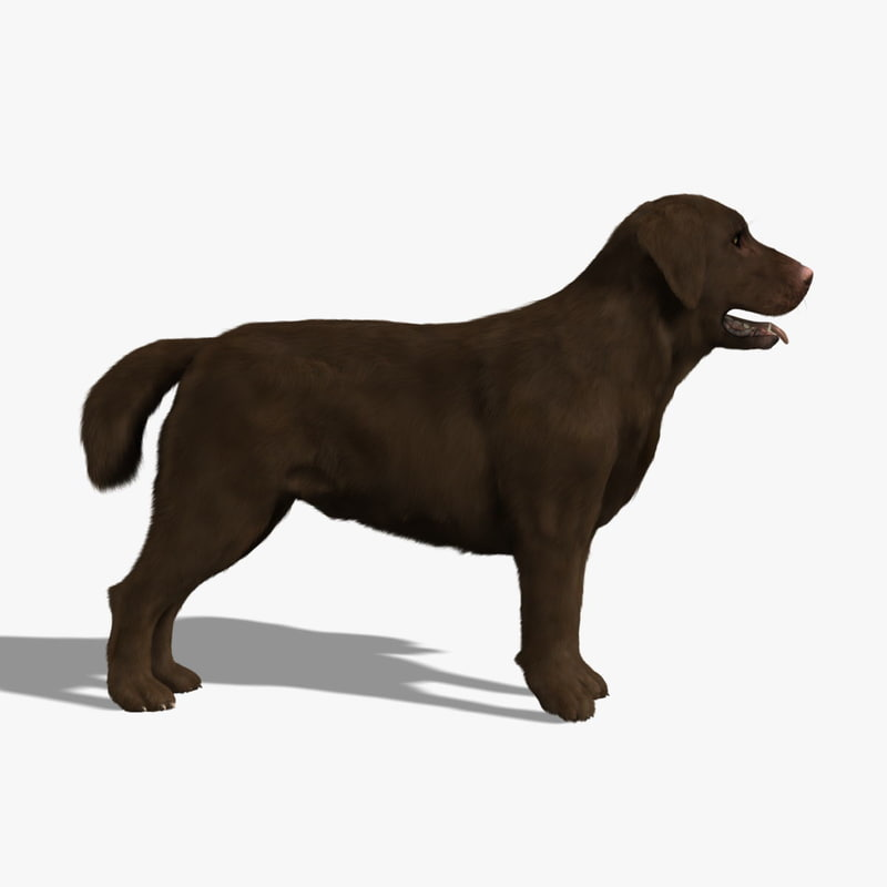3d model labrador chocolate dog -