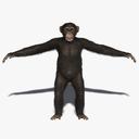 Chimp (2) (FUR)