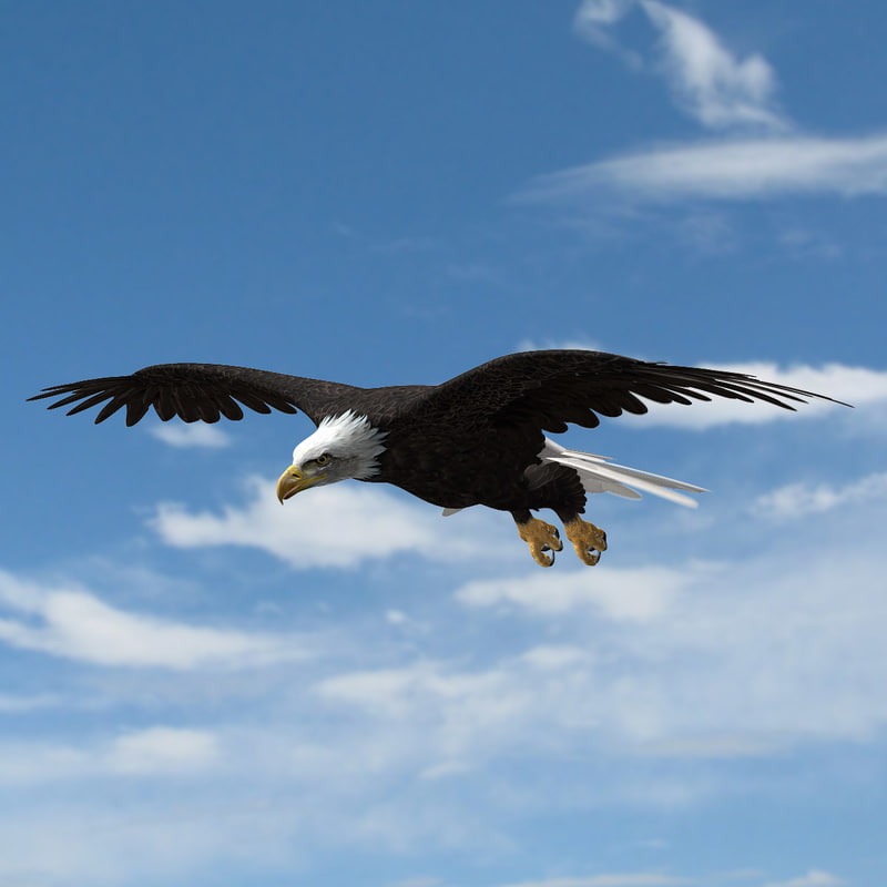 3d american bald eagle animation model