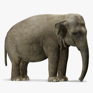 asian elephant max