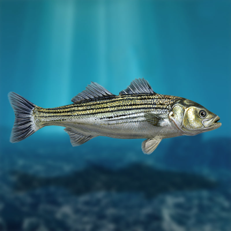 sea bass fish 3d model
